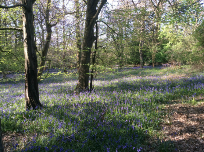 West Sussex Bluebell