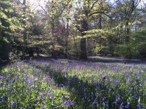 Bluebell_Walks_West_Sussex